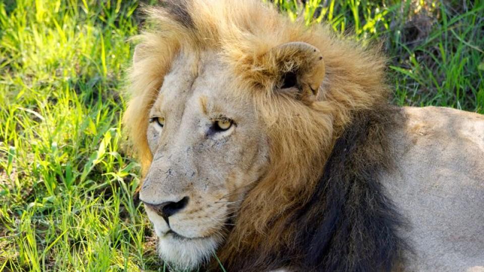 Leone in riserva privata