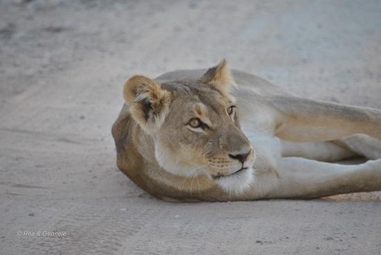 Leonessa in riserva privata