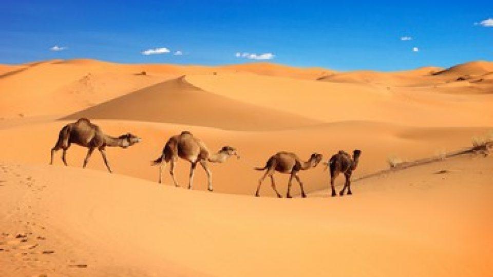 Dromedari nel Sahara in Marocco
