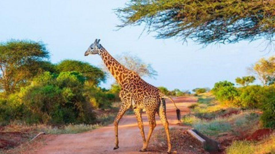Una giraffa dell'East Tsavo Park in Kenya