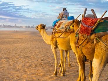 Cammelli sulla spiaggia di Essaouira