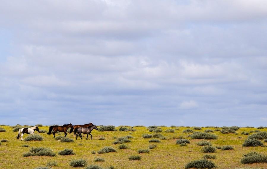 Cavalli selvatici nel Deserto del Gobi