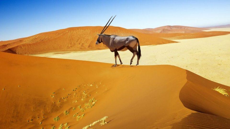 Orice nel deserto del Namib