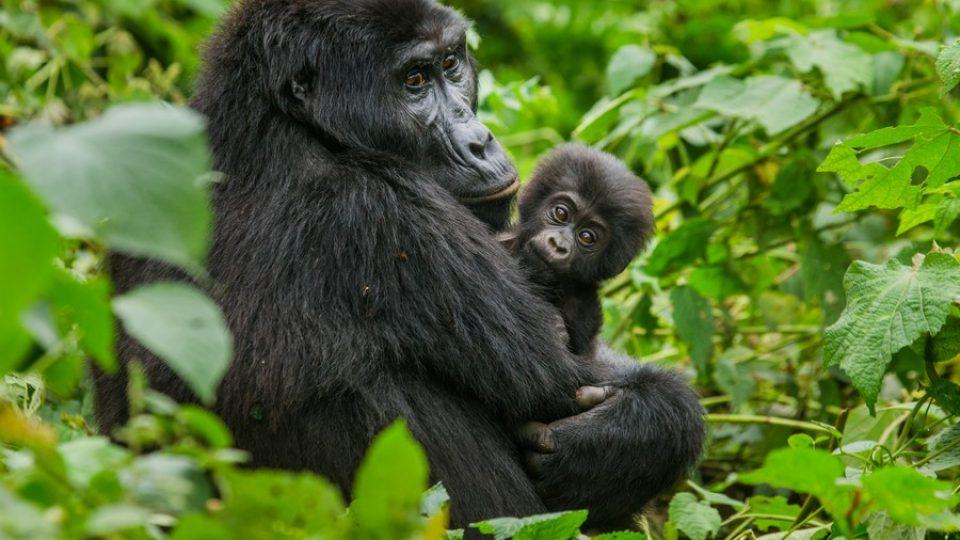 Mamma e cucciolo di gorilla in Uganda