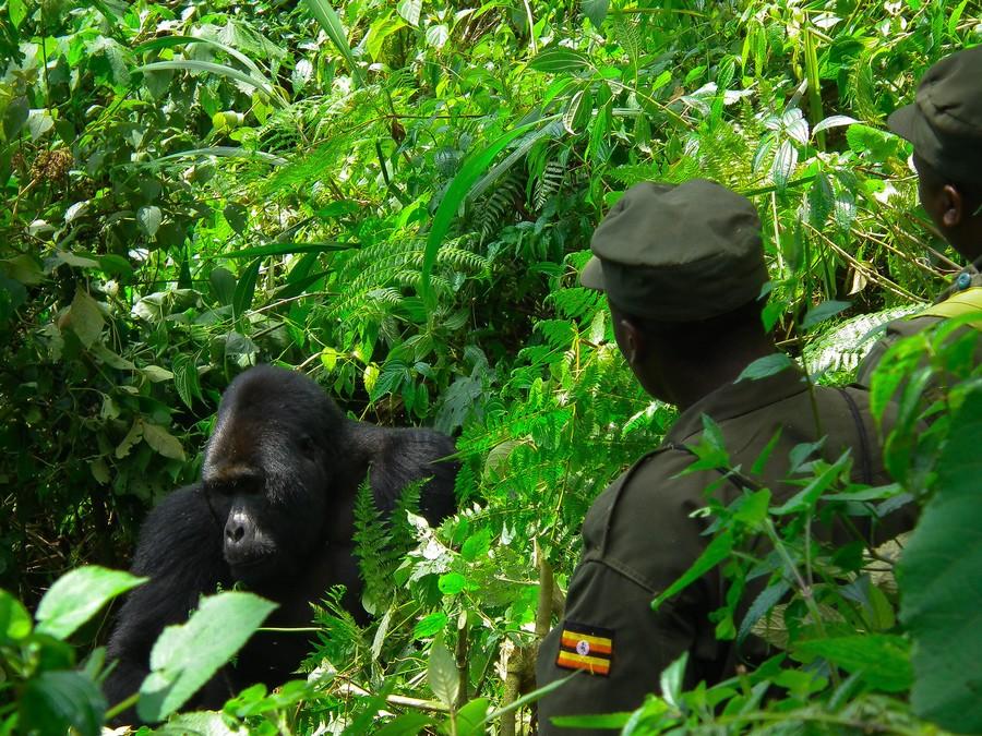 Un ranger osserva un gorilla, in Uganda