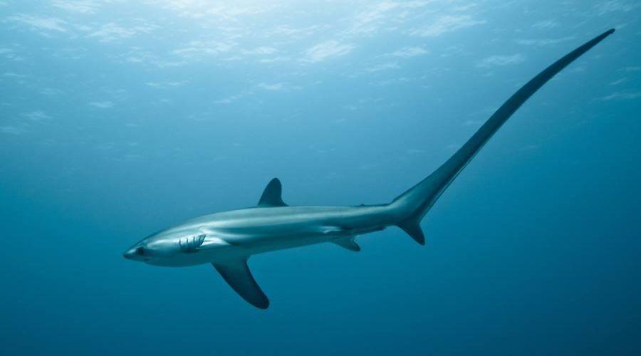 Uno squalo volpe nelle acque di Malapascua