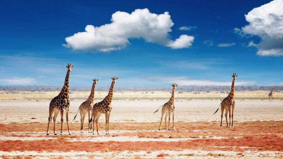 Giraffe dell'Etosha National Park in Namibia