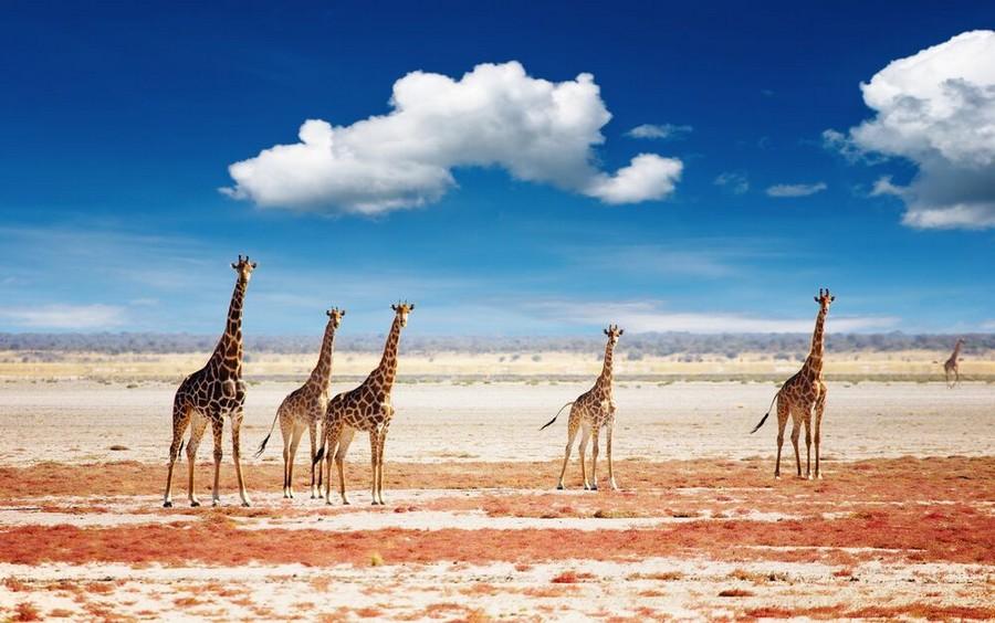 Giraffe dell'Etosha National Park in Namibia