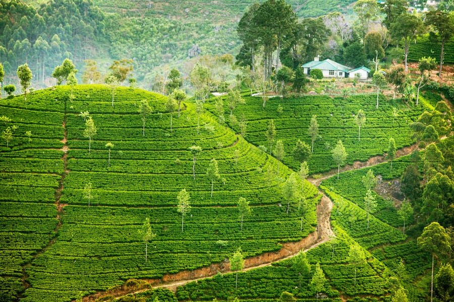 Sri Lanka, piantagioni di te