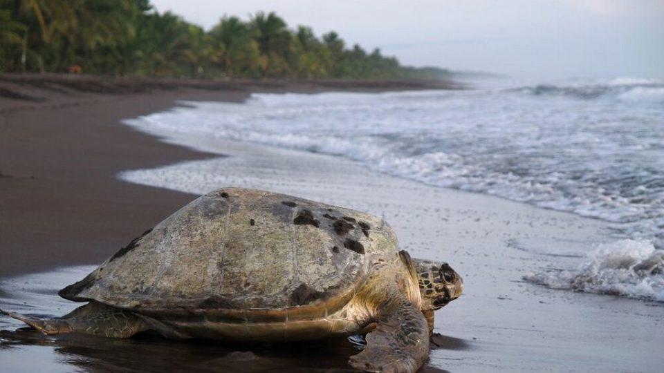 Tartaruga gigante, Tortuguero National Park