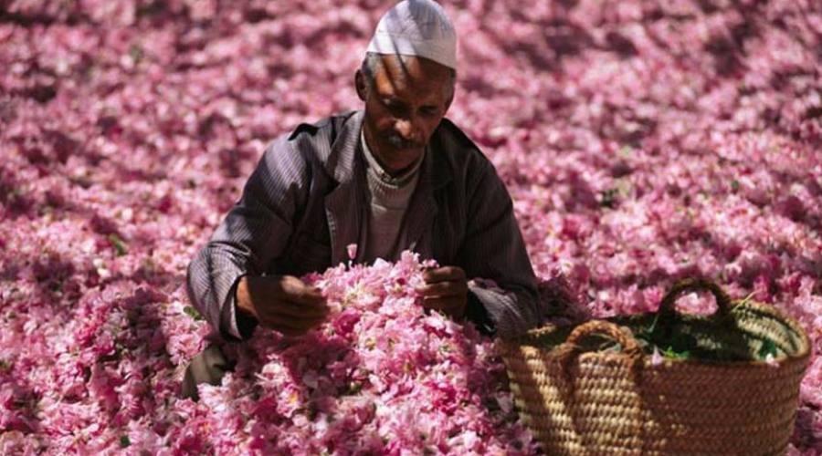 Raccolta e lavorazione delle rose in Oman