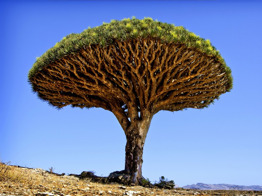 Dragon's Blood Tree, Isole Canarie