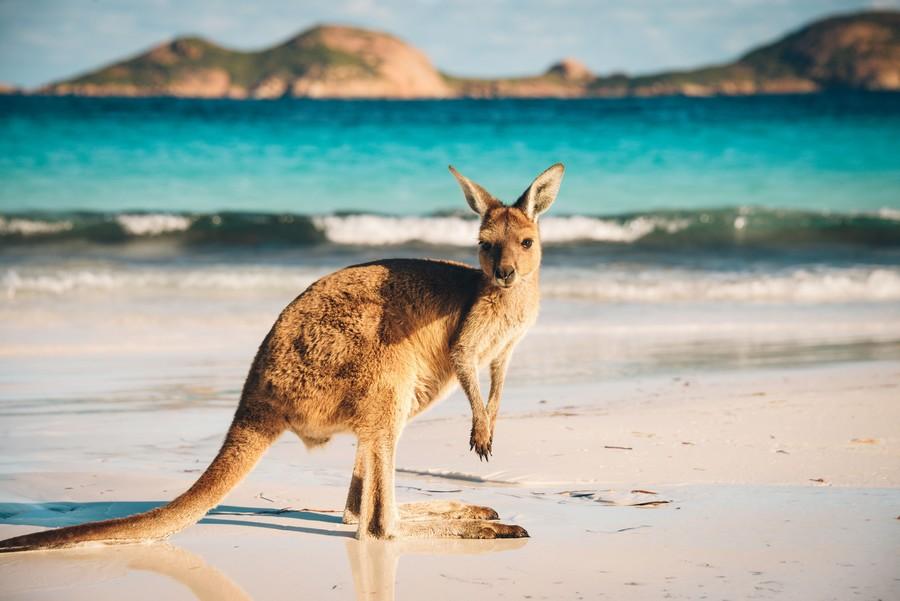 Un canguro su una spiaggia australiana