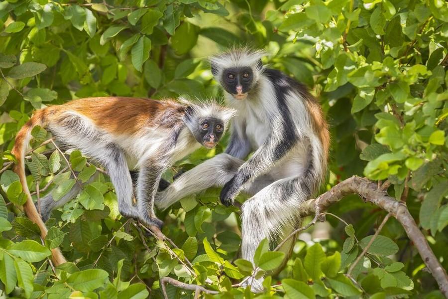 Due esemplari di Colobo rosso di Zanzibar