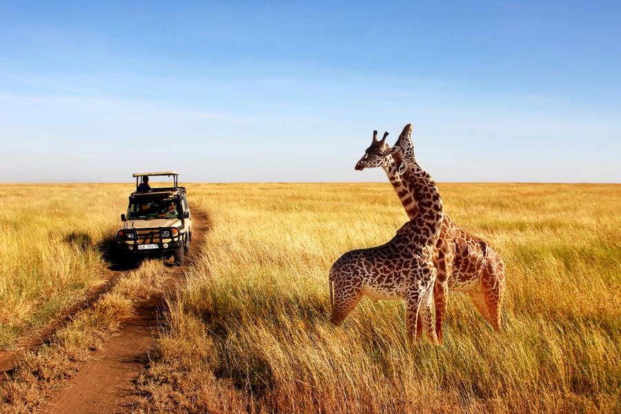 Giraffe nella savana in Tanzania