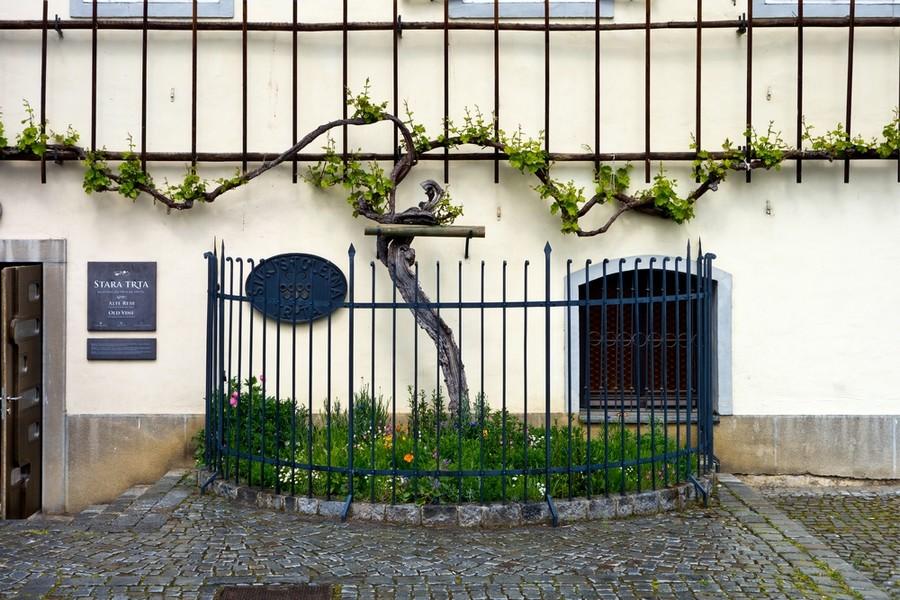 A Maribor c'è la pianta di vite più antica del mondo