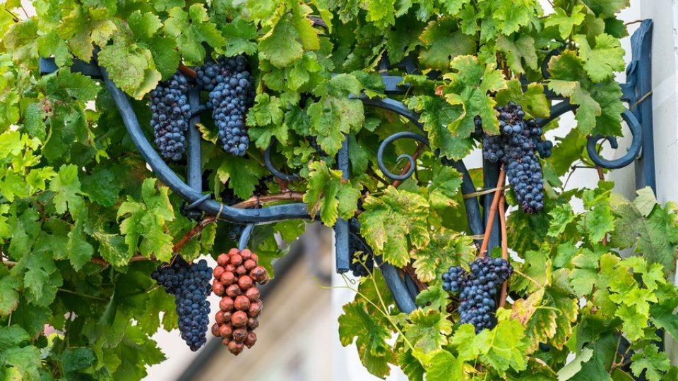 L'uva della vite più antica del mondo, a Maribor (Slovenia)