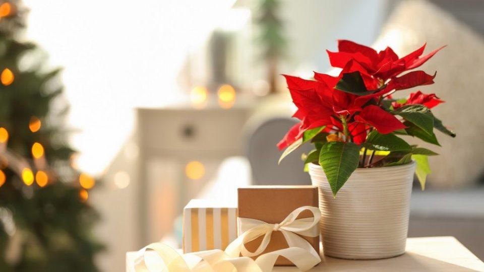 Stella-di-Natale-origini-messicane